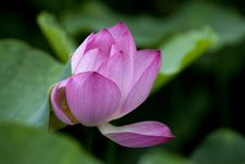 Free Lotus Pool Royalty Free Stock Photography - 16683387