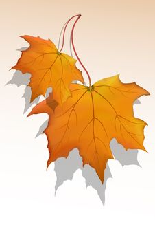 Free Maple Leaf Stock Images - 16684744