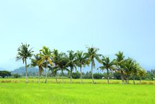 Free Coconut Trees And Paddy Field Royalty Free Stock Photo - 16686705