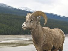 Free Bighorn Sheep (Ovis Canadensis) Stock Photos - 16688113