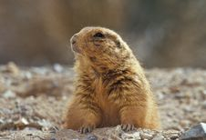 Free Black-tailed Prairie Dog Stock Photography - 16688172