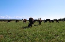Free Cows In A Meadow Stock Photos - 16688303