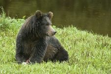 Free Grizzly Bear At Rest Royalty Free Stock Photography - 16688777