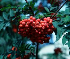 Free The Ashberry Stock Photography - 16689502