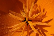 Free Californian Poppy Royalty Free Stock Images - 16689729