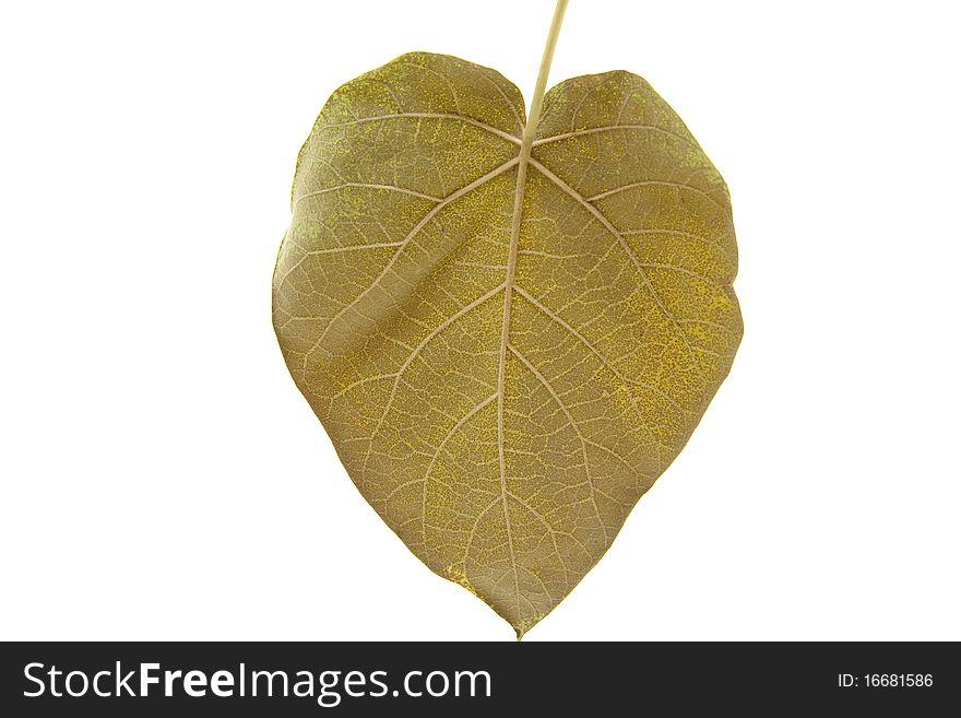 Blue bell tree leaf