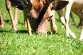 Free Deer Eating Royalty Free Stock Photo - 16692745