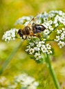 Free Bee Pollinating Flower Stock Image - 16698471