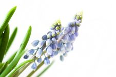 Free Blue Muscari Royalty Free Stock Photography - 16690377