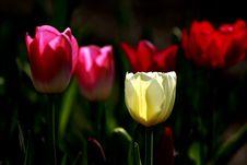 Free Tulips Royalty Free Stock Image - 16690466