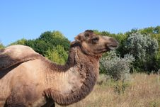 Free A Camel Stock Photography - 16691292