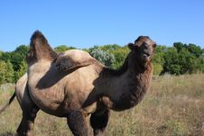 Free Camel Royalty Free Stock Photography - 16691337