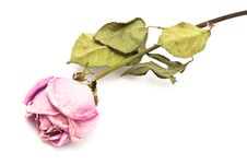 Free One Dry Roses Stock Photography - 16692012