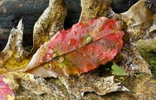 Free Autumn Leaves Black Yupelo Royalty Free Stock Photo - 16692105
