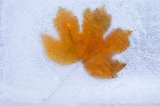 Free Frozen Maple Leaf. Royalty Free Stock Photo - 16693235