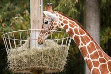 Free Giraffe Stock Photo - 16693300