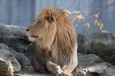 Free Lion On Rock Royalty Free Stock Images - 16696649