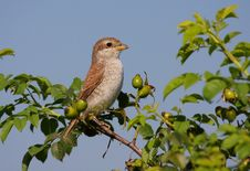 Free Juvenil Red-backed Shrike On Bush Royalty Free Stock Image - 16696896