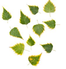 Free Autumn Birch Leaves Royalty Free Stock Photography - 16697007