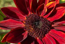Free Sunflower Moulin Rouge Stock Images - 16697114