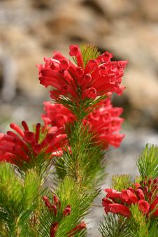 Free Adenanthos - Albany Woollybush Stock Photography - 16697352