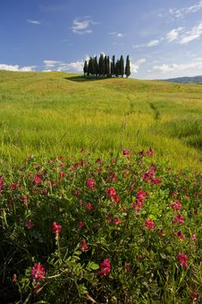 Free Small Group Of Tuscany Cypresses Royalty Free Stock Photography - 16697607