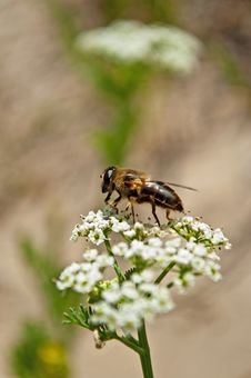 Free Bee Pollinating Flower Royalty Free Stock Photo - 16698165