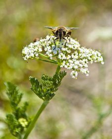 Free Bee Pollinating Flower Royalty Free Stock Photo - 16698225