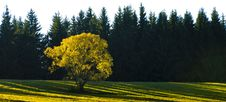 Free Yellow Tree Royalty Free Stock Photo - 16698545
