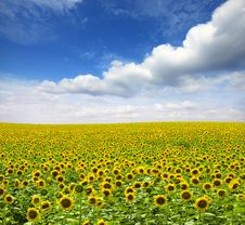 Free Sunflowers Royalty Free Stock Images - 16698759