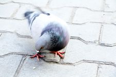 Free Pigeon Royalty Free Stock Images - 16699089