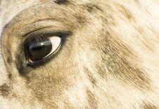 Close Up Of An Appaloosa Horse`s Face Stock Photos