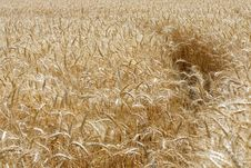 Free Wheat Field Stock Photos - 16699843