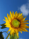 Free Sunflower Under Sky Royalty Free Stock Image - 1675656