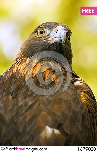 Free Golden Eagle (Aquila Chrysaetos) Against Green-Gold Background Stock Photo - 1679020