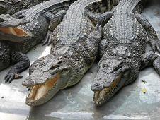 Free Crocodile Royalty Free Stock Photos - 1670398