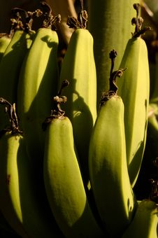 Free Green Bananas Stock Images - 1671854
