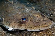 Free Flat Fish Indonesia Sulawesi Royalty Free Stock Image - 1673336