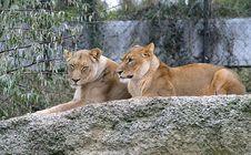 Free Lion 6 Stock Photo - 1674040