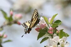 Free Swallowtail Butterfly Royalty Free Stock Photography - 1674277
