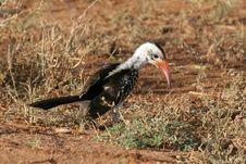 Free Hornbill Stock Image - 1674541