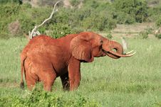 Free Red African Elephant Royalty Free Stock Photography - 1674547