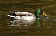 Free Mallard Male Stock Photo - 1674980