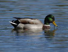 Free Mallard Male Stock Image - 1674981