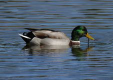 Free Mallard Male Stock Photos - 1674983