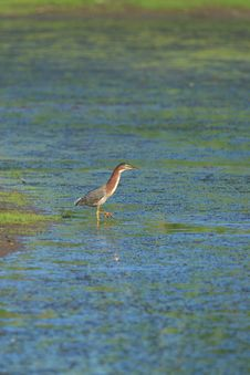 Free Green Heron Royalty Free Stock Images - 1675229