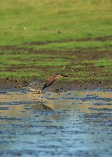 Free Green Heron Stock Photography - 1675262
