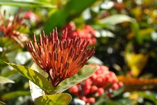 Free Ixora Chinensis Royalty Free Stock Images - 1676819