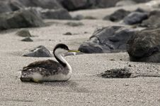 Free Western Grebe On Beach Royalty Free Stock Photography - 1678817