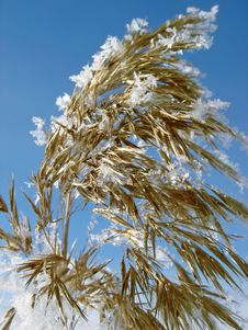 Free Reed In The Winter Royalty Free Stock Images - 1678859